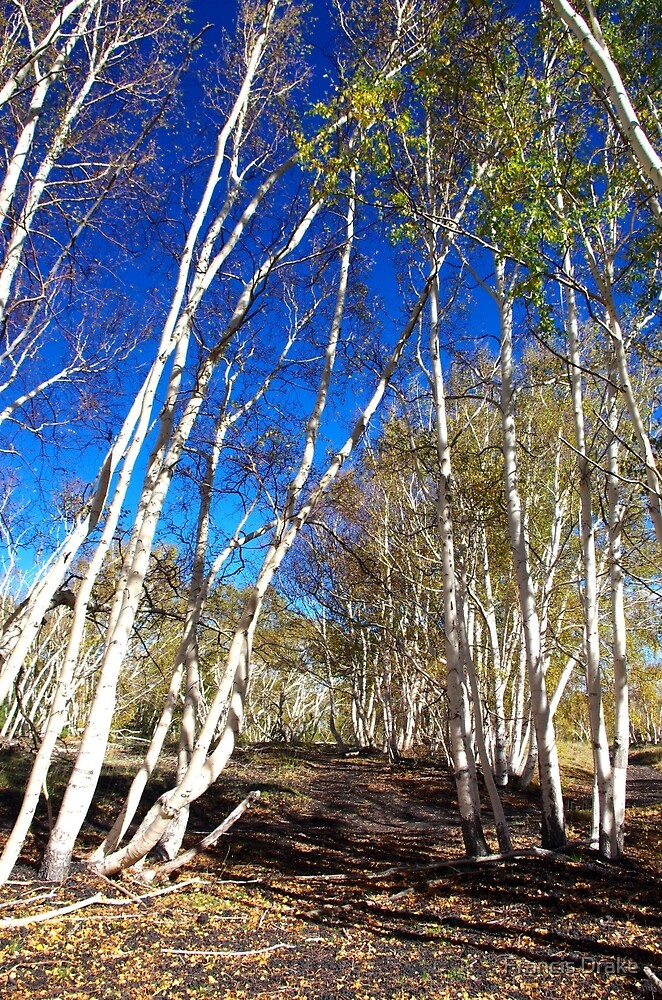 Silver Birch On Mount Etna by Francis Drake