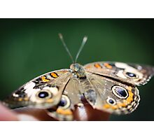 Common Buckeye Junonia Coenia Photographic Print