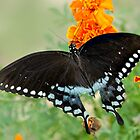 Swallowtail butterfly on marigolds by Janice Carter