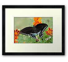 Swallowtail butterfly on marigolds Framed Print