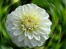 Dahlia - white by Evelyn Laeschke