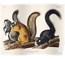John James Audubon - Sciurus capistratus, Bos Fox Squirrel 1845  Poster