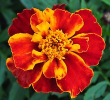 French Marigold by Rupert Connor