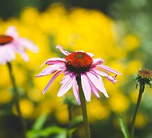 Echinacea in bloom by DagnyK