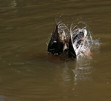 Diving duck by turniptowers
