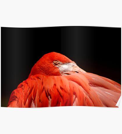 Flamingo sleeping Poster