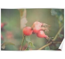 Red rose hips Poster