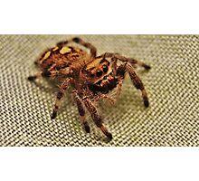 Rey Phiddipus Regius Jumping Spider  Photographic Print