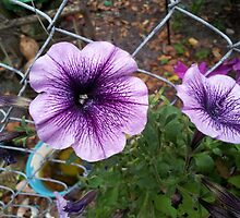 Flaring Purple Morning Glory by Rebecca York
