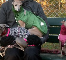 Italian greyhound party by homesick