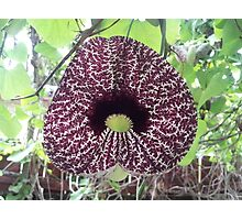 Dutchman Pipe Vine  Photographic Print