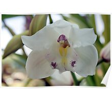 Perfection; White-cymbidium orchid; Patricia Merz Greenhouse, Granada Hills, CA USA Poster