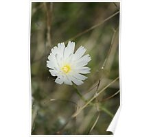 Calycoseris wrightii; White Tackstem; Along the Interstate 10 between Arizona & California Poster