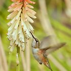 Rufous Hummingbird by Diana Graves Photography