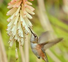 Rufous Hummingbird by K D Graves Photography