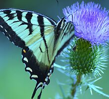 Swallowtail Butterfly by Laurie Minor
