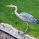 Grey Heron by Malcolm Chant