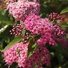 Pink Spirea  by Linda  Makiej