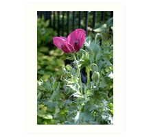 Opium poppy and buds Art Print