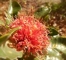 Banksia ilicifolia - Holly leaved Banksia in Red by CLaceyNaturArts