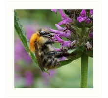 Common Carder Bumble Bee Art Print