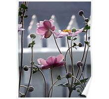 Japanese Windflowers Poster
