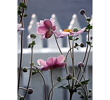 Japanese Windflowers Photographic Print