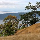 Gary Oak on Brown Ridge Saturna Island  by TerrillWelch