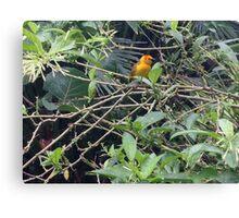 Taveta Golden Weaver Bird- Wildlife.  Canvas Print