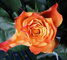 The Sleeping Beauty Awakens - Dreamy Orange Rose by MidnightMelody