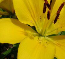 Golden Lily Sticker