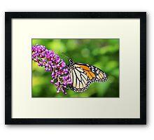 Monarch Butterfly - Danaus plexippus - Female Framed Print