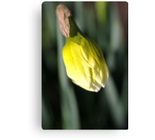 About to Stretch - Daffodil Bud Canvas Print