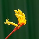 Yellow Kangaroo Paw by DPalmer