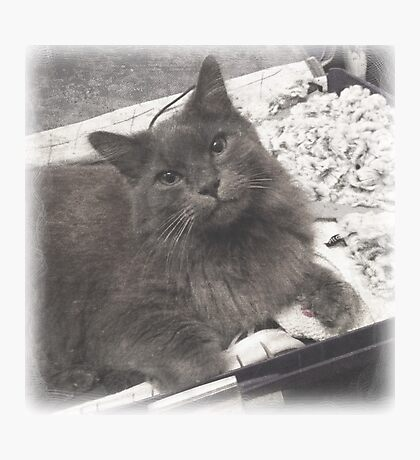 Fluffy Cat in Suitcase Photographic Print