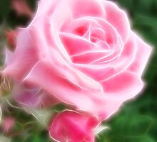 Pink Roses in Anzures 2 Angelic by Christopher Johnson