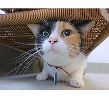 Calico Cat for Adoption Photographic Print