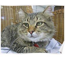 Big Brown Tabby Cat Poster