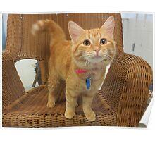 Red Tabby Kitten Poster