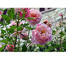 Beautiful gentle pink roses background Photographic Print