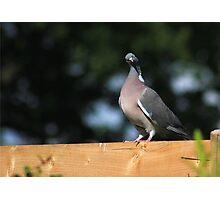 Curious pigeon Photographic Print