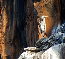 Great Blue Heron by David Galson