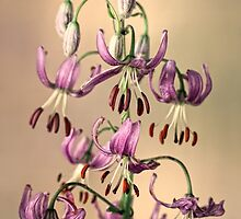 Martagon lily by jimmy hoffman