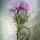 Spurred with many thorns ... Purple Thistle by LouiseK
