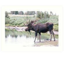 Thirsty moose a Thursday morning Art Print