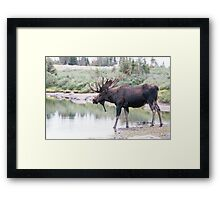 Thirsty moose a Thursday morning Framed Print