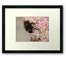 Bumble Bee On Sedum Framed Print