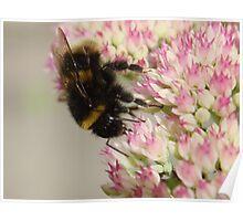 Bumble Bee On Sedum Poster