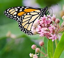Monarch Butterfly on Milkweed Flower by Christina Rollo
