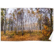 Autumn In The Birch Grove Poster